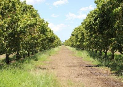 Farm-work-mango-trees
